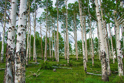 Photograph - Aspen Grove by Kunal Mehra
