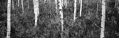 Aspen Trees In A Forest, Shadow Art Print