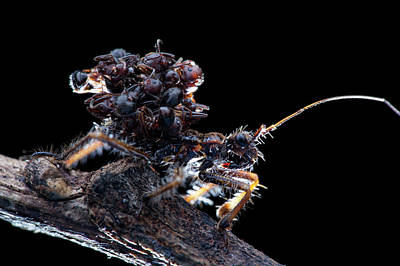 Assassin Bugs Photograph - Assassin Bug With Dead Ants by Melvyn Yeo