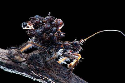 Assassin Bug With Dead Ants Art Print