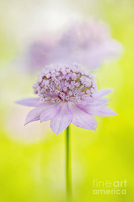 Astrantia Photograph - Astrantia 'larch Cottage' by Jacky Parker