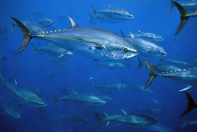 Atlantic Bluefin Tuna School Turkey Art Print by Richard Herrmann