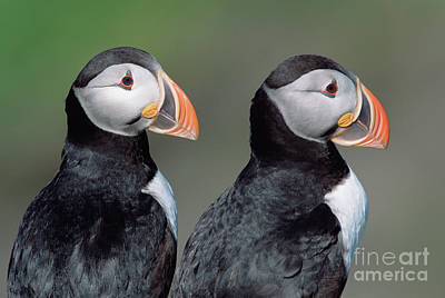 Photograph - Atlantic Puffins In Breeding Colors by Yva Momatiuk and John Eastcott