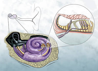 Photograph - Auditory Hair Cells, Illustration by Spencer Sutton