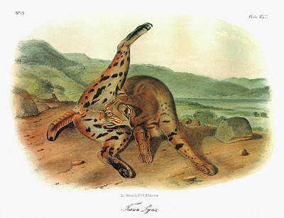 Bobcats Painting - Audubon Bobcat by Granger