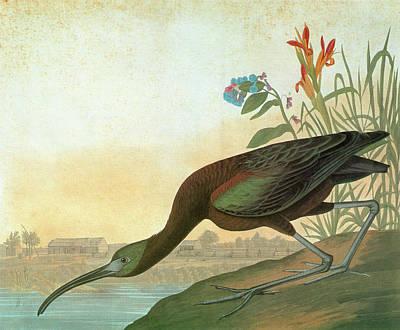 Ibis Painting - Audubon Ibis by Granger