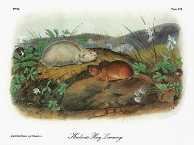 Quebec Painting - Audubon Lemming by Granger