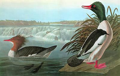 Audubon Merganser Art Print