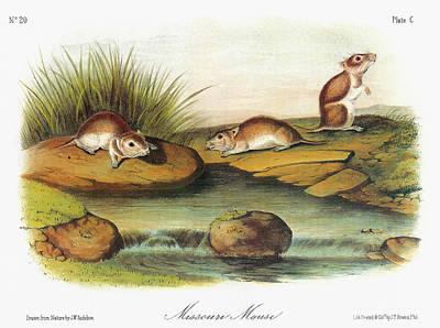 Grasshopper Painting - Audubon Mouse by Granger