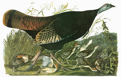 Meleagris Painting - Audubon Turkey by Granger