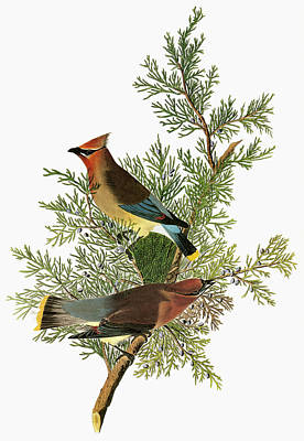 Cedar Waxwings Painting - Audubon Waxwing by Granger