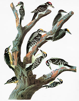 Hairy Woodpecker Painting - Audubon Woodpeckers by Granger