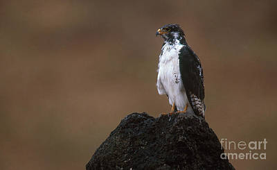 Buzzard Photograph - Augur Buzzard by Art Wolfe