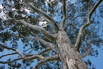 River Gums Photograph - Australia, Perth by Cindy Miller Hopkins