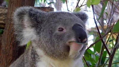 Photograph - Australia - Koala Bear In Your Face by Jeffrey Shaw