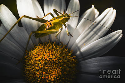 Australian Grasshopper On Flowers. Spring Concept Art Print