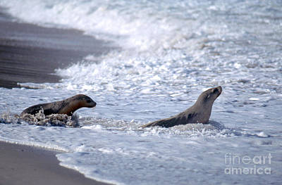 Australian Sea Lion Photograph - Australian Sea Lions by Gregory G. Dimijian, M.D.