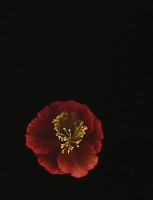 Photograph - Autographic Poppy - Color by Kathleen Messmer