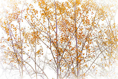 Autumn Birch Art Print by Barbara Smith