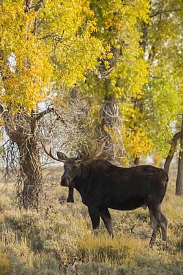 Moose Antler Photograph - Autumn Gold by Sandy Sisti