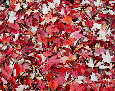 Photograph - Autumn Red Maple Leaves by John Shaw