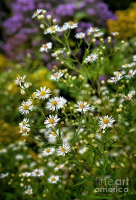 A Summer Evening Photograph - Autumn - Wildflowers - Asters by Henry Kowalski