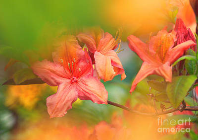 Photograph - Azalea Flowers by Charline Xia