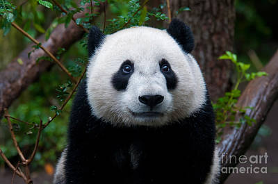 Photograph - Baby Giant Panda by Mark Newman