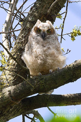 Photograph - Baby Great Horned Owl by Deb Kline