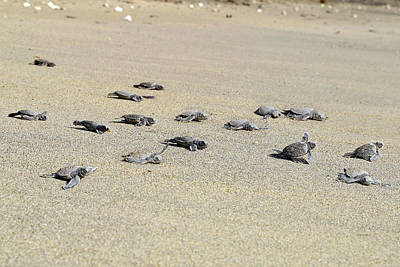 Chelonian Photograph - Baby Green Sea Turtles by M. Watson