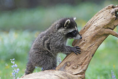 Raccoon Photograph - Baby Raccoon by M. Watson