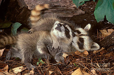 Photograph - Baby Raccoons Playing by ER Degginger