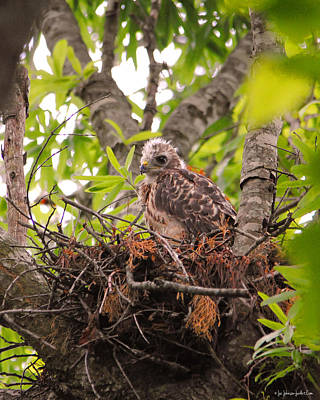 Red Shouldered Hawk Photograph - Baby Red Shouldered Hawk by Jai Johnson