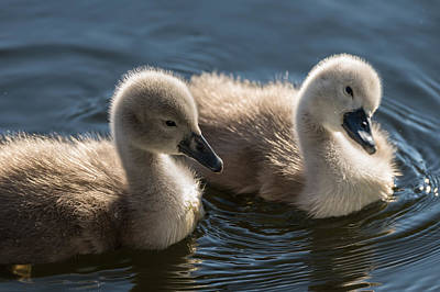 Photograph - Baby Swans by Michael Mogensen