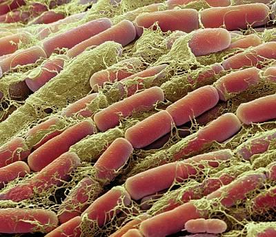 Bacteria Photograph - Bacillus Megaterium Bacteria by Steve Gschmeissner