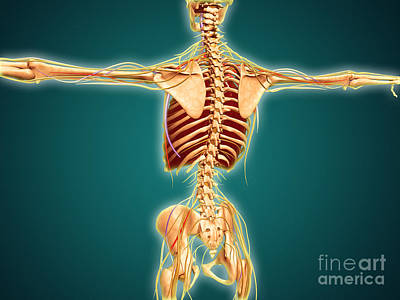 Costae Spuriae Digital Art - Back View Of Human Skeleton by Stocktrek Images