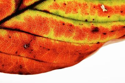 Backlit Autumnal Leaf Art Print by Mauro Fermariello/science Photo Library
