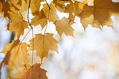 Photograph - Backlit Maple Leaves In Fall by Elena Elisseeva