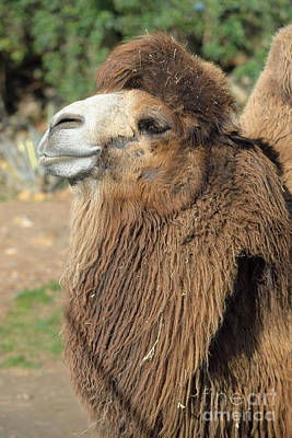Camel Photograph - Bactrian Camel by George Atsametakis