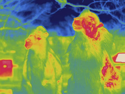 Camel Photograph - Bactrian Camel, Thermogram by Science Stock Photography