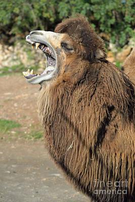 Camel Photograph - Bactrian Camel Yawning by George Atsametakis