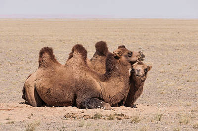 Photograph - Bactrian Camels In The Gobi Desert by Alan Toepfer