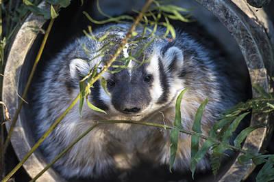 Photograph - Badger by Mark Newman