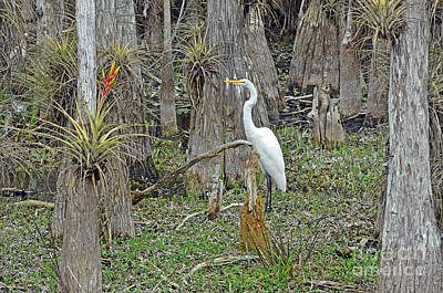 Epiphyte Photograph - Bald Cypress Swamp With Great Egret by John Serrao