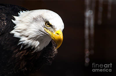 Photograph - Bald Eagle by Bianca Nadeau