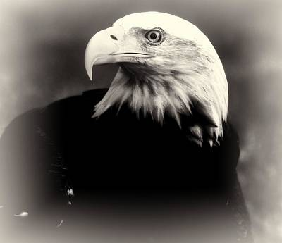Photograph - Bald Eagle Black And White by Dan Sproul