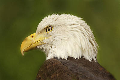 Print featuring the photograph Bald Eagle  by Brian Cross