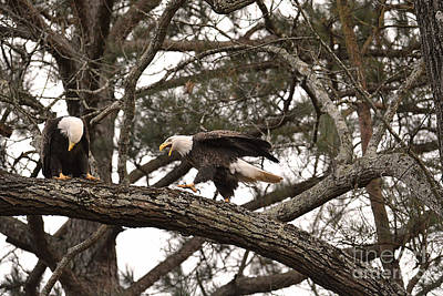 Photograph - Bald Eagle Courtship by Jai Johnson