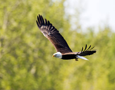 Photograph - Bald Eagle by Doug Lloyd