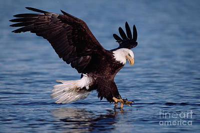 High Speed Photograph - Bald Eagle Fishing Kenai by Yva Momatiuk John Eastcott